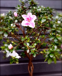 Our Azalea tree in bloom